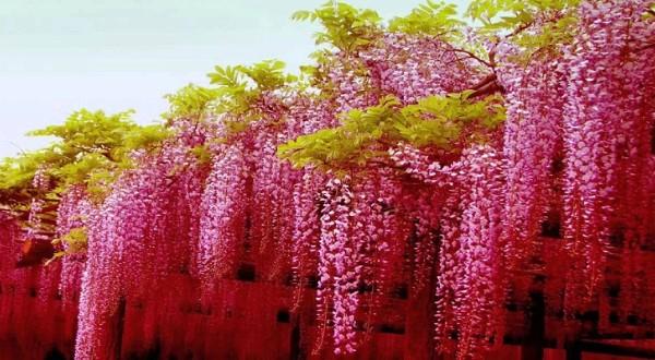 Cách trồng cây dây leo theo phong thủy giúp gia chủ phát tài, phát lộc