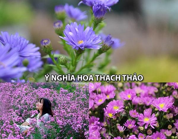 Bật mí ý nghĩa hoa thạch thảo đối với cuộc sống