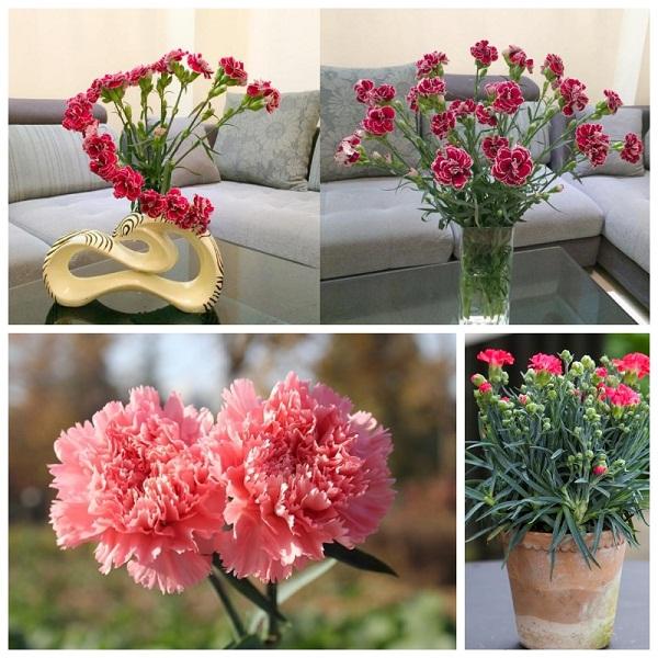 Bật mí 2 cách cắm hoa cẩm chướng tuyệt đẹp mà bạn không nên bỏ qua