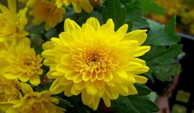 Ý nghĩa của hoa cúc - hoa của sự trường tồn