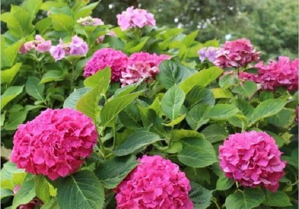 Ý nghĩa của hoa cẩm tú cầu không phải ai cũng biết