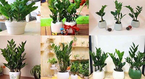 Bật mí 5 loại cây phong thủy nên trồng trong nhà giúp gia chủ phát tài phát lộc