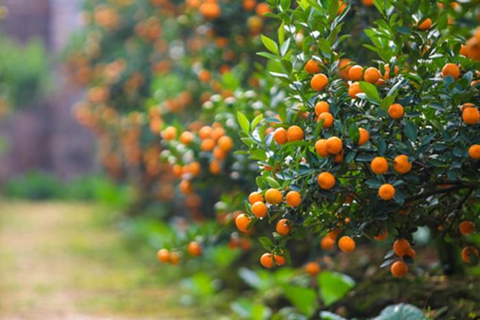 Mách bạn cách trồng cây quất sau Tết hiệu quả ngay tại nhà